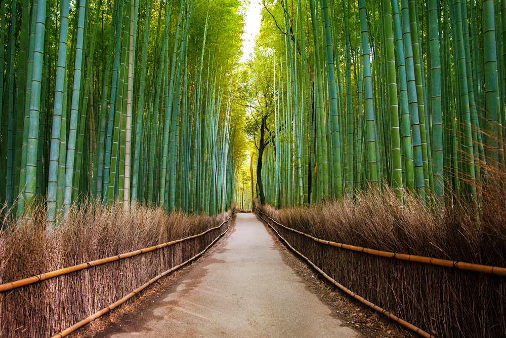 a streignth path lies between two high hedges of bamboo